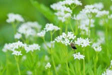 Abeille butinant - pollinisation, coopération