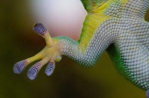 patte de Gecko biomimétisme